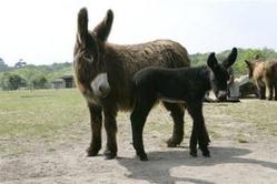 Poitou_donkey